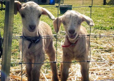miniature-goats-nowra-show-2020