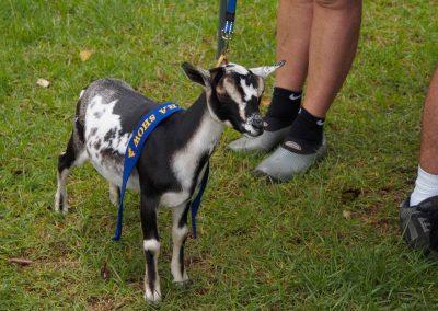 miniature-goats-nowra-show