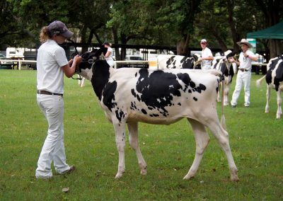 nowra-show-2020-cattle